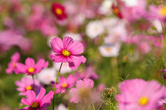 Pink Cosmos flower and blue sky Royalty Free Stock Photography