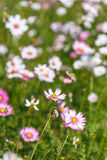 Pink Cosmos flower and blue sky Stock Photos