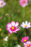 Pink Cosmos flower and blue sky Stock Images