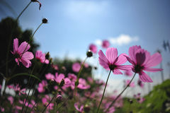 Pink cosmos flower on blue sky cloud background in garden field. So beautiful plant and fresh on autumn season Stock Image
