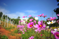 Pink cosmos flower on blue sky cloud background in garden field. So beautiful plant and fresh on autumn season Royalty Free Stock Images