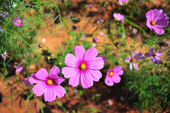 Pink cosmos flower on blue sky cloud background in garden field. So beautiful plant and fresh on autumn season Stock Photo