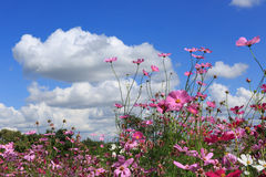 Pink Cosmos Flower and the blue sky. Royalty Free Stock Image