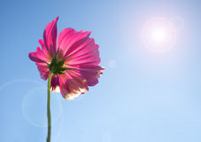 Pink cosmos flower in blue sky - lens flare and sunlight. Stock Images