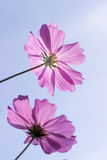 Pink cosmos flower in blue sky. Two pink cosmos flowers in blue sky Stock Photo