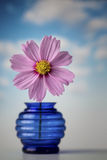 Pink Cosmos flower in blue vase Stock Photography