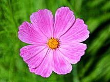 Pink cosmos flower on blurry green background Royalty Free Stock Photos