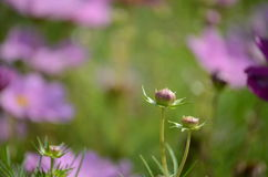 Pink Cosmos Flower Bud Royalty Free Stock Photos