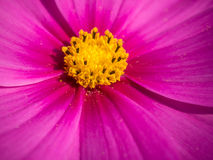 Pink cosmos Stock Photos