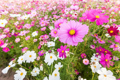 Pink cosmos flower close up Royalty Free Stock Photos