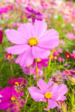 Pink cosmos flower close up Stock Photography