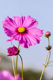 Pink cosmos flower close up Royalty Free Stock Image