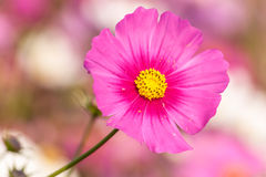 Pink cosmos flower close up Royalty Free Stock Photo