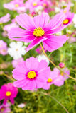 Pink cosmos flower close up Royalty Free Stock Photography