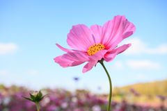 Pink cosmos flower close up with sky Stock Photos