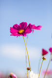 Pink cosmos flower close up with sky Stock Images