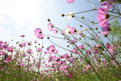 Pink Cosmos flower. Stock Photography