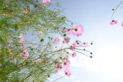 Pink Cosmos flower. Royalty Free Stock Photo