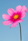 Pink Cosmos flower contrasted against blue sky Royalty Free Stock Photo