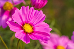 Pink cosmos flower (Cosmos Bipinnatus) with blurred background Royalty Free Stock Images