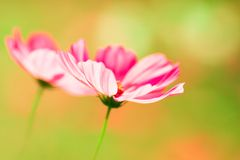 Pink cosmos flower on creamy background Royalty Free Stock Photos
