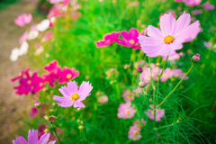 Pink Cosmos flower family compositae Royalty Free Stock Image