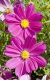 Pink Cosmos flower family fompositae. In garden of France stock photography