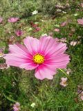 The pink cosmos Stock Images