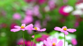 Pink cosmos flower in cosmos field. Beautiful pink cosmos flower blooming in nature garden. nature background stock video