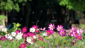 Pink cosmos flower in cosmos field. Beautiful pink cosmos flower blooming in nature garden. nature background stock footage