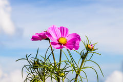 Pink cosmos flower in field and cloud background. Closeup pink cosmos flower in field perfect sunny day and white cloud background stock images