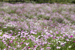 Pink cosmos flower field Royalty Free Stock Photography