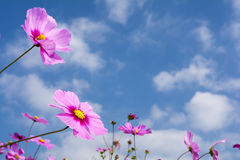 Pink cosmos flower field Royalty Free Stock Images