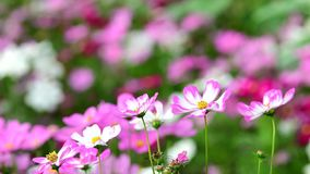Pink cosmos flower in field. Pink cosmos flower in the wind at cosmos field. 4k stock footage