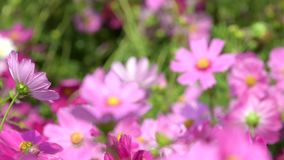 Pink cosmos flower in cosmos field. Shift focus of pink cosmos flower in the wind at cosmos field stock video