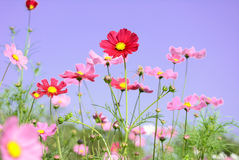 Pink Cosmos flower field Stock Photos