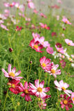 Pink cosmos flower field in sunshine Stock Photography