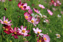 Pink cosmos flower field in sunshine Royalty Free Stock Photos
