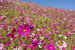 Pink cosmos flower field Stock Images