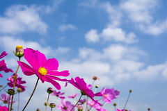 Pink cosmos flower field Royalty Free Stock Photo