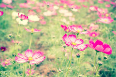 Pink cosmos flower field Stock Photo