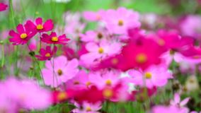 Pink cosmos flower in field. Pink cosmos flower in the wind at cosmos field. concept defocus. 4k stock video