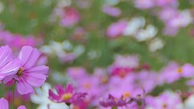 Pink cosmos flower in field. Pink cosmos flower in the wind at cosmos field. concept panning stock video