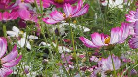 Pink cosmos flower in field. Pink cosmos flower in the wind at cosmos field. concept panning stock footage