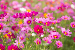 Pink cosmos flower fields Stock Photo