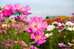 Pink cosmos flower in garden Stock Photo