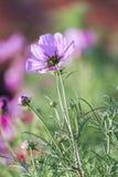 Pink cosmos flower in garden Stock Photos