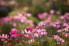Pink Cosmos flower. In the garden at sunset Royalty Free Stock Photography