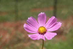 Pink Cosmos Flower. Is a genus, with the same common name of cosmos, consisting of flowering plants in the sunflower family royalty free stock photo