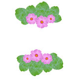 Pink cosmos flower and green leaves frame Stock Images